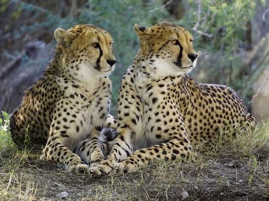 Туристы сняли на видео групповой секс гепардов