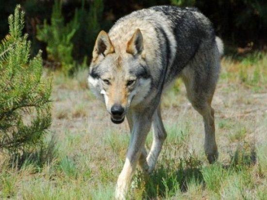 В Крыму начнут отстреливать волков