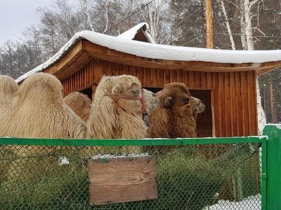 В Этнографический музей Бурятии привезли верблюдов, лосей и тигренка