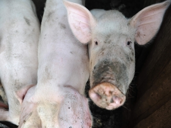 В Жирновске фермер оштрафован за то, что оставил свиней без прививок