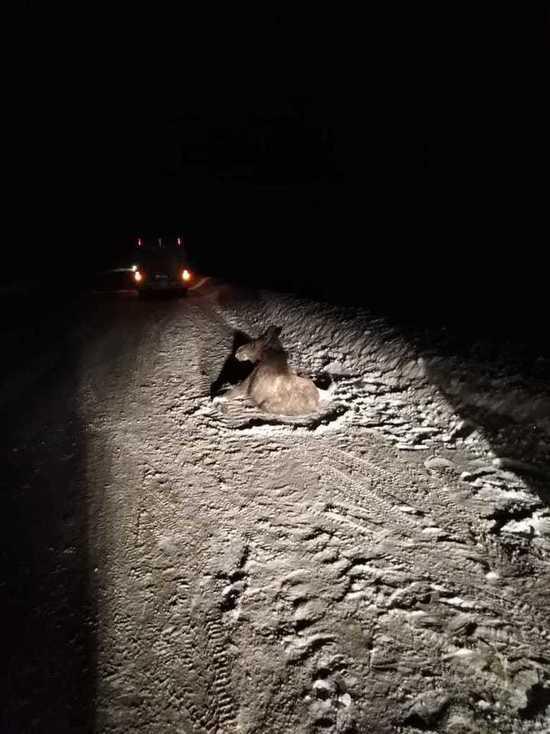 Под Димитровградом насмерть сбили молодого лося