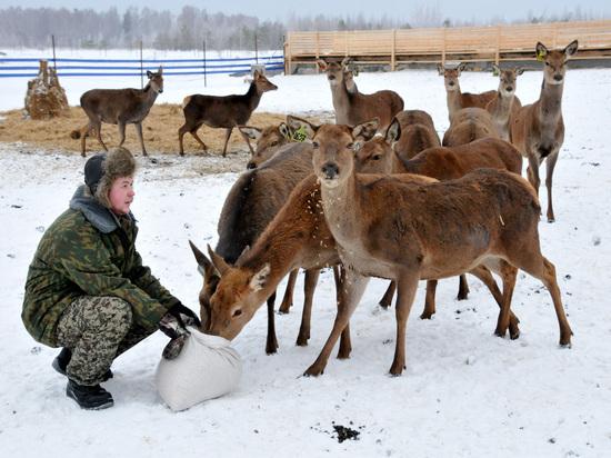 В Нижегородской области начали разводить оленей для производства мяса