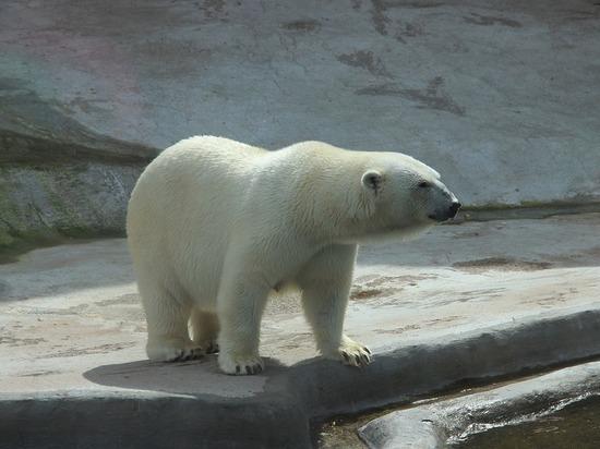 В Казани на два года поселился белый медведь