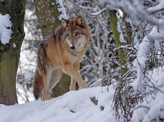 Шесть волков добыто в окрестностях населенных пунктов с начала года