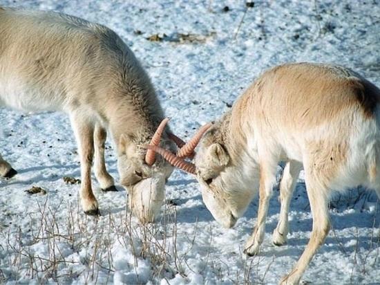 Туристы в Калмыкии смогут наблюдать за сайгаками