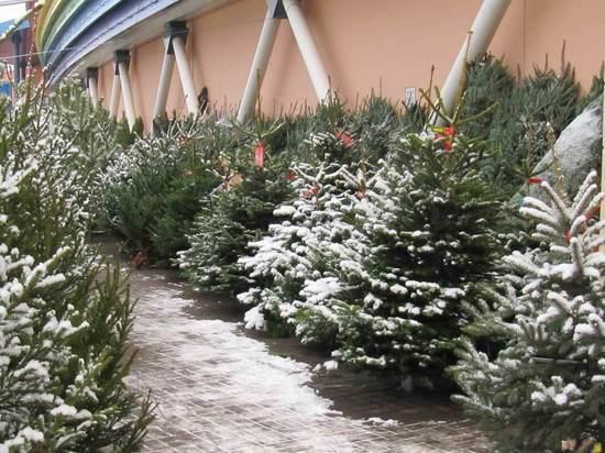 В Ярославской области новогодние елки рубили строго по закону