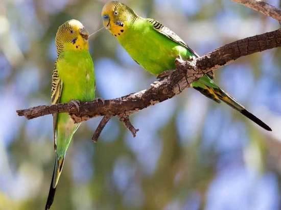 Самки попугаев выбирают умных самцов, выяснили китайские зоологи
