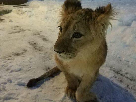 Петербуржцы собрали деньги на выкуп у звезды «Дома-2» надоевшего ему львенка