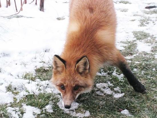 В Тамбовской области выявлены новые вспышки бешенства животных