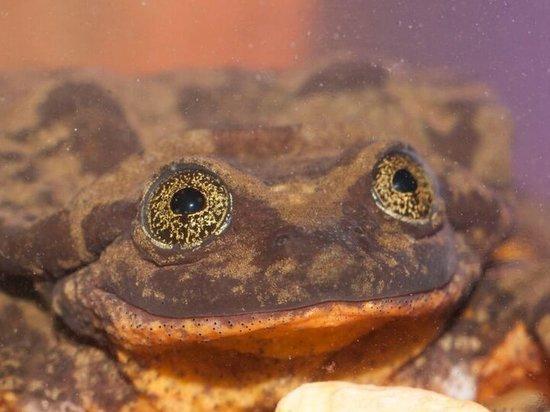 Самцу лягушки, считавшемуся последним представителем вида, неожиданно нашли пару