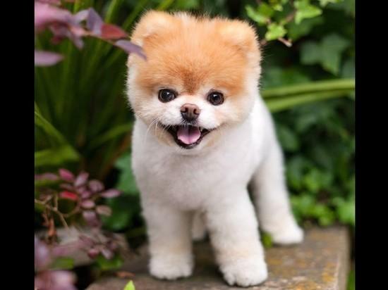 Скончался шпиц Бу— самая милая собачка вмире