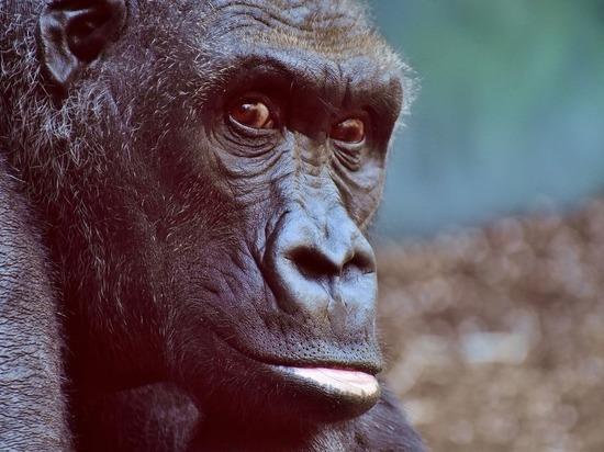 Европейские генетики обнаружили, что гориллы мутируют втрое быстрее людей