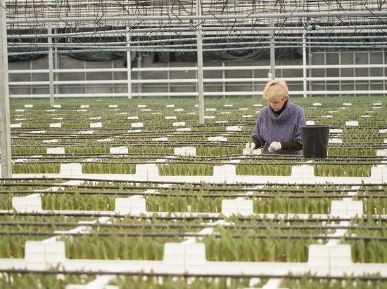 Калининградский питомник к 8 марта вырастит 7,5 миллиона тюльпанов