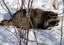 Застреленная в Тверской области самка енотовидной собаки оказалась бешеной