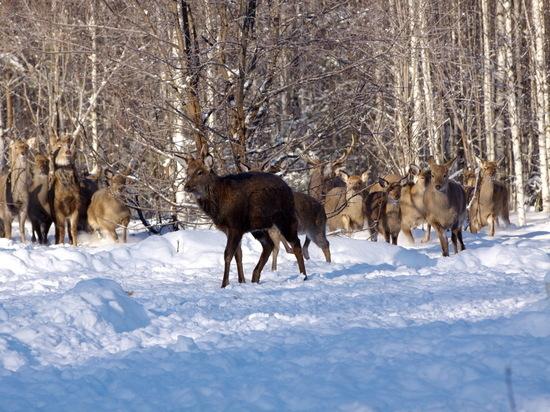 В Нижегородской области восстанавливают популяцию оленей