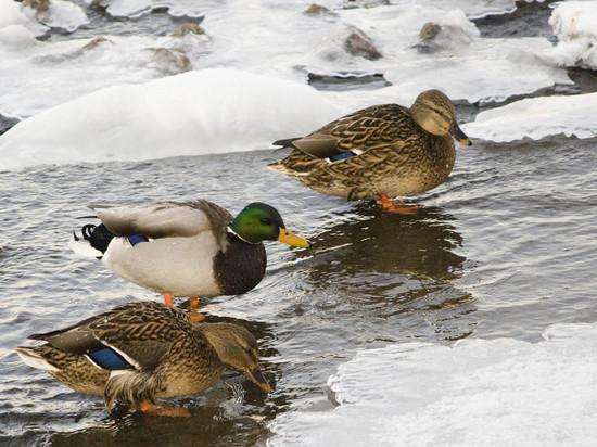 Куда пропадают в Ярославле утки: зимующих уток съедают гастарбайтеры?