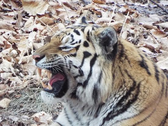 Прокуратура проверит краснодарские условия для тигра Амура