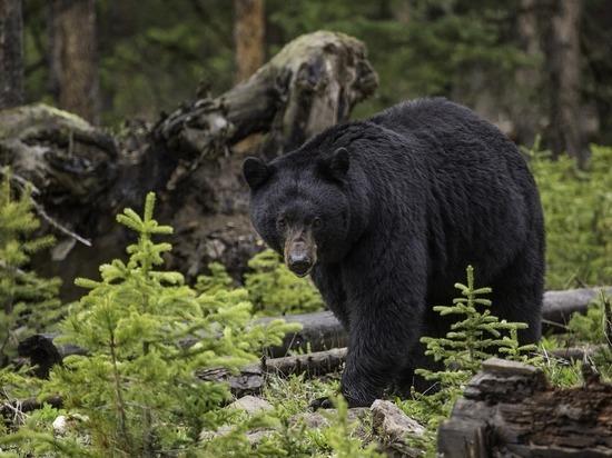Медведь съел страдавшего наркоманией американца