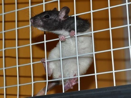В Китае научились управлять крысами «силой мысли»