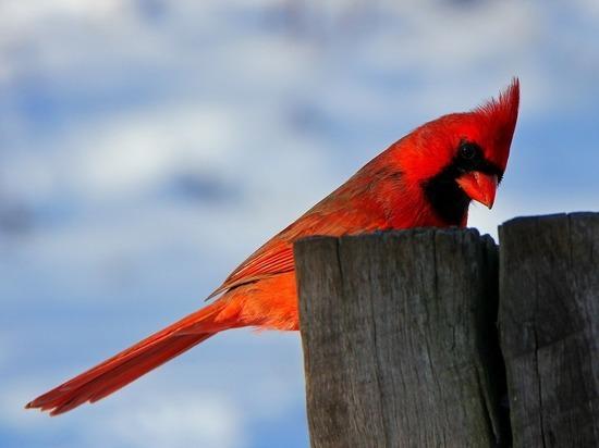 В США обнаружили двуполую птицу