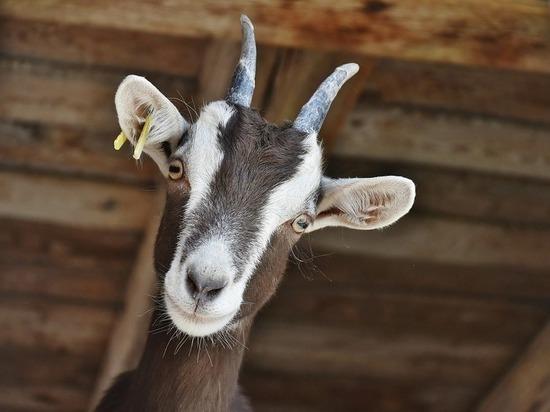 Козоводство и овцеводство получат господдержку в Нижегородской области