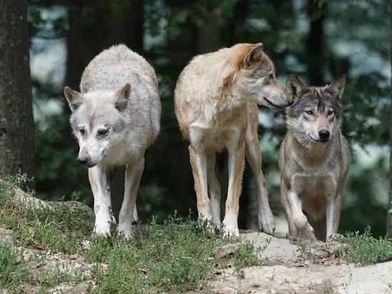 С начала года в Кировской области охотники убили 78 волков