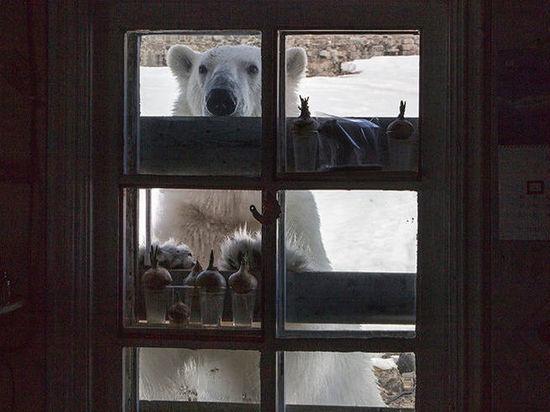 В осаде: медведи Новой Земли объявили мобилизацию, люди ввели режим ЧС