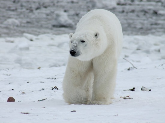 Эксперт о нашествии белых медведей: сезонная миграция
