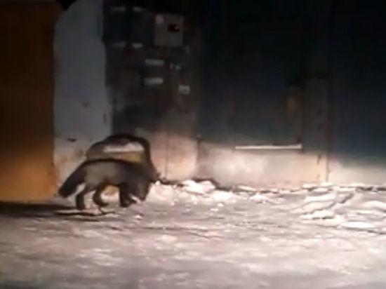 Чернобурая лисица вновь выходила к людям в Прокопьевске