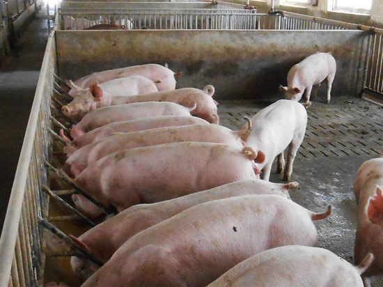 В Белгородскую область запретили ввоз свинины из Украины