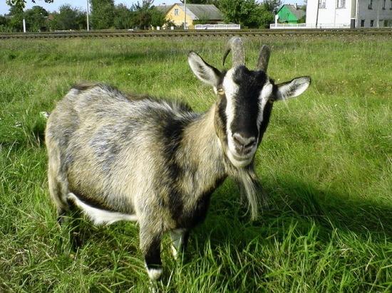 В Воронежской области у скота обнаружили бруцеллез