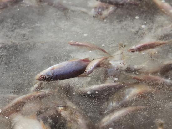 Виновные в экологической катастрофе на реке Урал не установлены