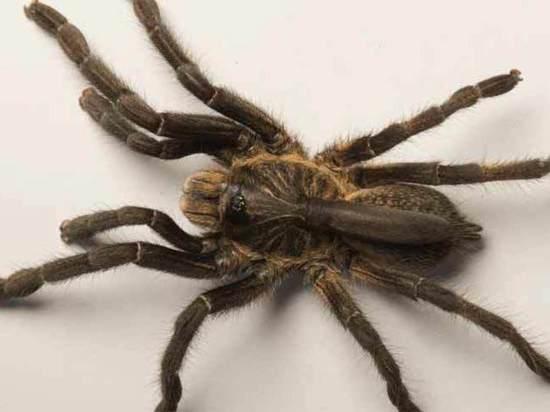 В Африке нашли «пауков-единорогов»