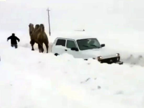 Саратовцы сфотографировали внедорожник  на верблюжьей тяге