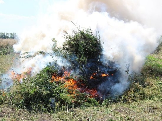 Более тонны дикорастущей конопли сожгли в Ульяновске за 2018 год