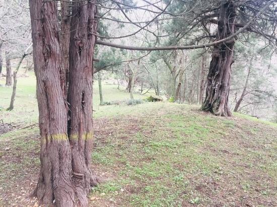 Общественники Крыма уже много лет ведут борьбу за сохранение реликтовых деревьев.
