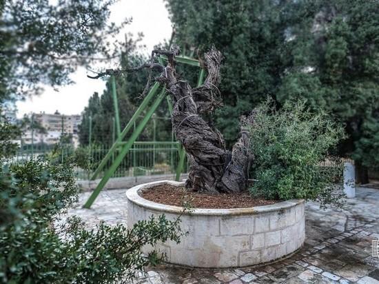 Предзнаменование Апокалипсиса: верующих напугало падение дуба Авраама