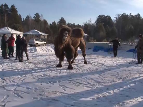Бурятские шаманы принесли в жертву пять верблюдов для «блага» России