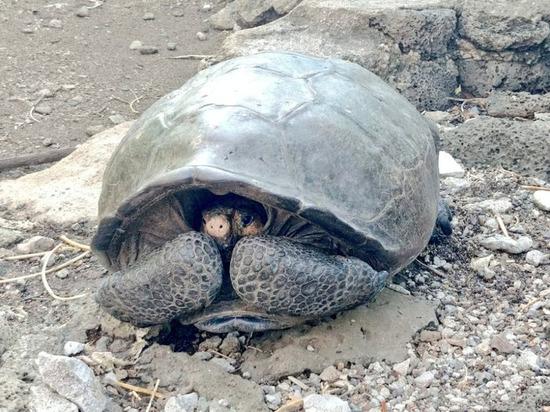 На Галапагосских островах обнаружили считавшуюся вымершей гигантскую черепаху