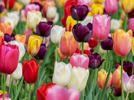 В Мысках открылся тепличный комплекс по выращиванию тюльпанов