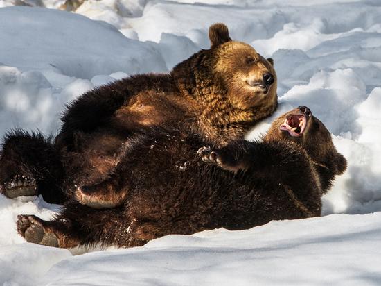 В Тверскую область приедут медвежата, которых бросила испуганная мать
