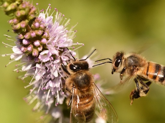 Из-за людей европейские пчелы перестают танцевать