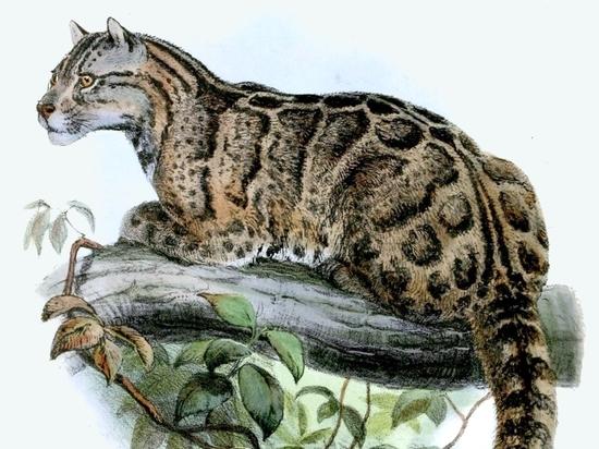 Признанный вымершим леопард обнаружен в Тайване: третье «воскрешение» за неделю