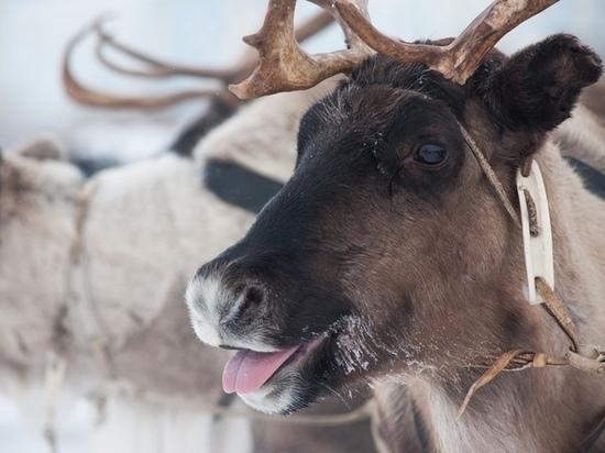 На Дне оленевода в Надыме северяне смогут выиграть снегоходы и денежные призы