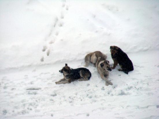 В Яр-Сале ребенок, на которого напала собака, получит компенсацию