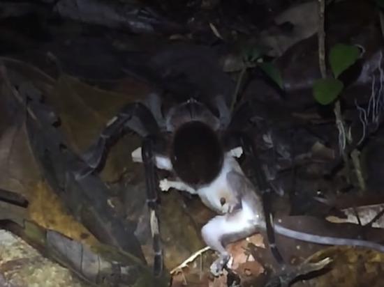 Огромный паук на глазах ученых съел опоссума