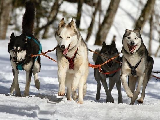 Липчане проводят зиму на собачьих упряжках