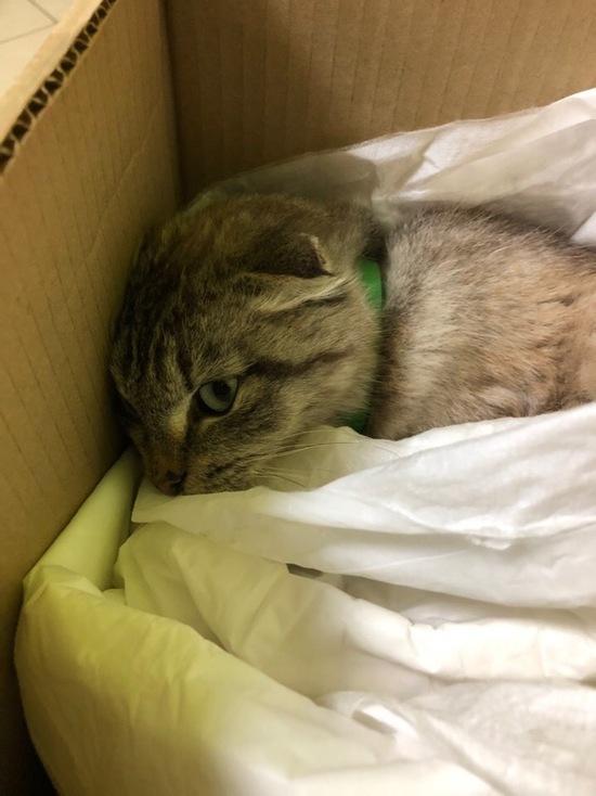 Кошку со снятой кожей привезли из Кардымова лечить в Смоленск