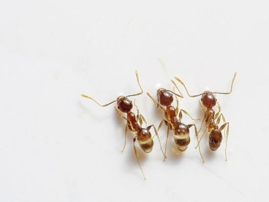 Российские биологи нашли в муравьях лекарство от рака
