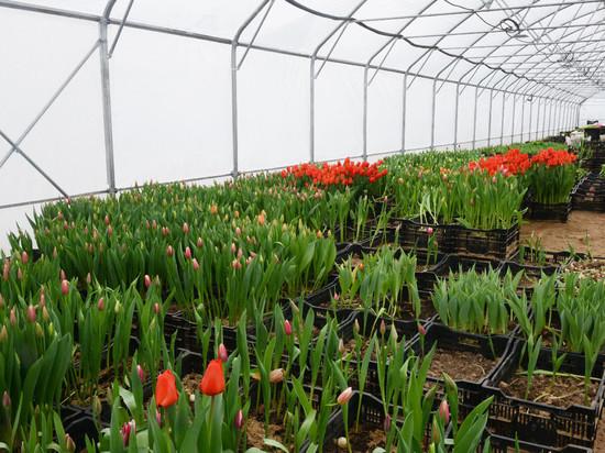 Смоленские тюльпаны поспели как раз к празднику